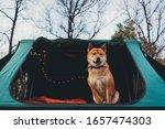 Lovely Shiba Inu Traveler Dog...