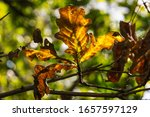 Small photo of Close-up of an orange and brown oak leaf during the process of senescence in fall or automn.