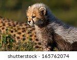 Cheetah Baby  Seven Weeks  In...