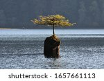 A Small Bonsi Tree Growing In...