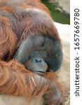 Large Adult Male Orangutan...