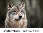 Portrait Of Grey Wolf In The...