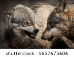 Portrait Of Angry Grey Wolf In...