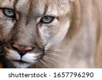 Portrait Of A Puma. Canadian...