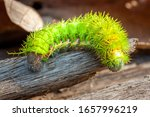 Hairy Poison Caterpillar From...