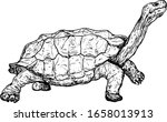 A Giant Galapagos Tortoise...