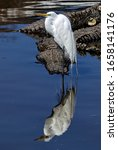 Great Egret Standing Upon An...