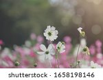 White Cosmos Flower Blooming...