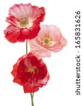 Stock photo studio shot of pink and red colored poppy flowers isolated on white background large depth of 165831626