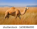 Small photo of Dromedary or Arabian camel, Camelus dromedarius, even-toed ungulate with one hump on back. Camel in the long golden grass in Egypt meadow. Summer day in wild nature. Dromedary walking in habitat.
