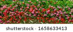 Ivy Geranium Flowers  ...