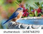 Male Eastern Bluebird Perched...