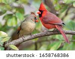 Vibrant Northern Cardinals...