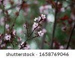 Pink Cherry Plum Blossom  ...