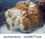 Partly bleached brain coral colony under the tropical sea of Karimunjawa, Central Java, Indonesia. High temperature induced coral bleaching in Java Sea Coral Triangle in January-February 2020.