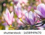 Blossom Of Magnolia Tree....