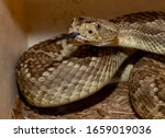 American Rattle Snake With...