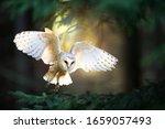 Barn Owl In Flight.  Wildlife...