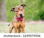 A Shepherd X Terrier Mixed...