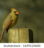 Female Cardinal Perched On A...