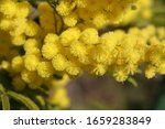 Mimosa Flowers Or Acacia...