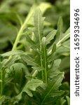 Small photo of Rocket's fresh green leaves growing(Eruca vesicaria)