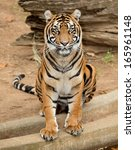 Female Tiger Sitting And Posin...
