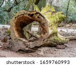 Very Old Large Tree Trunk...