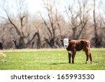 Pretty Little Calf Standing...