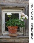 White Geraniums In Terracotta...