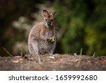 Bennett's Wallaby   Macropus...
