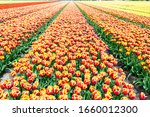 Blooming Rows Of Red Yellow...