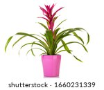 Potted purple Guzmania Bromeliad in pink flower pot isolated on white background