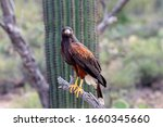 Harris Hawk On Branch In...