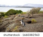 Magellanic Penguin On Sea Shore