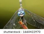 Dragonfly Micrathyria Aequalis  ...