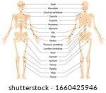 human anatomical skeleton. ... | Shutterstock .eps vector #1660425946