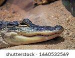 Unhappy Crocodile In Unnatural...