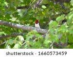 A Red Headed Woodpecker Perche...