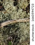Close Up Of The Silver Cladonia ...