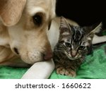 Stock photo labrador retriever and a small kitten happy together 1660622