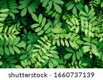 Nature Background  Indigofera...