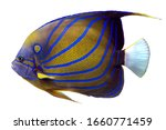 Blue Ring Angelfish ...