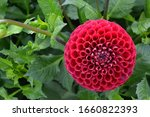 Flowering Red Coloring Dahlia...