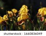 Yellow Brown Irises With...