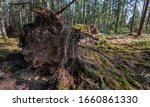 Tree Uprooted By Storm In The...