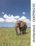 African Elephant  Loxodonta ....