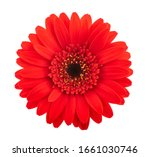 Red Gerbera Flower Head...