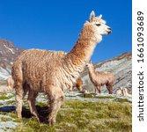 Llama Or Lama  Group Of Lamas...