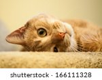 Stock photo cute and endearing ginger cat rolling and looking out from the top of the stairs 166111328